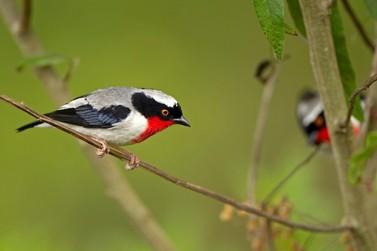 Workshop busca salvar de extinção a ave conhecida como saíra-apunhalada