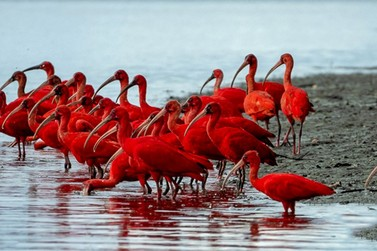 Observar guarás na Baía de Guaratuba é um passeio que proporciona lindas imagens