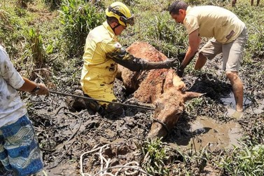 Bombeiros resgatam animal atolado em lamaçal
