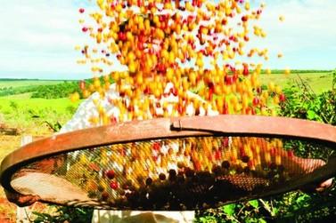 Safra de café de Juruaia deve chegar a 160 mil sacas em 2020