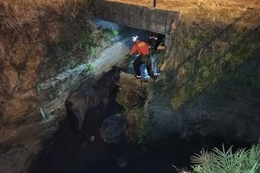 Cavalo caído em arroio é resgatado pelos Bombeiros Voluntários de Igrejinha