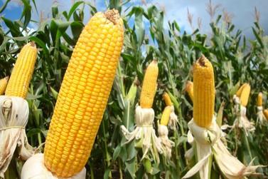 Lucas do Rio Verde sedia ciclo de palestras sobre etanol de milho
