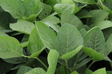 Levantamento aponta redução da incidência de ferrugem asiática na soja