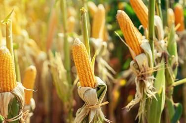 Zoneamento de milho 1ª safra e sorgo para a safra 2020/2021 é publicado