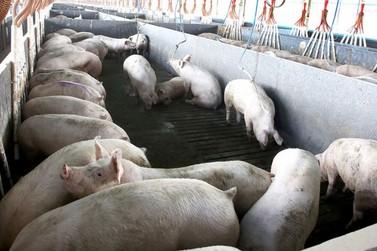 Abate de suínos cresce no 2º trimestre de 2020 e chega a 12 milhões de animais