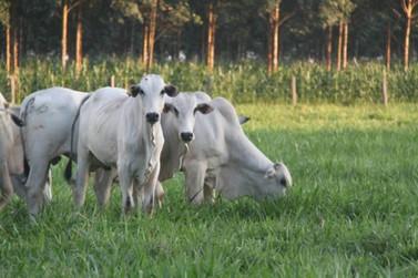 Preço da arroba do boi cai em MT após casos da 'vaca louca'