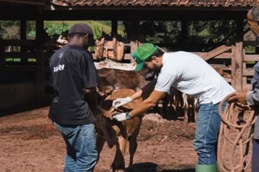 Vacinação contra Brucelose imuniza mais de 720 bezerras