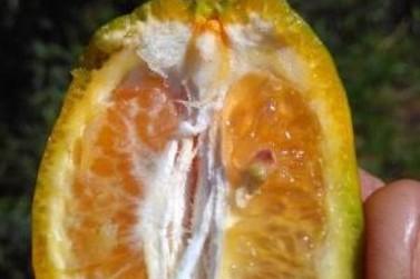 Emater alerta para o controle de doença nas lavouras de citros em Minas Gerais