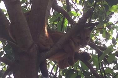 Onça aparece em cima de árvore no Jardim Morumbi