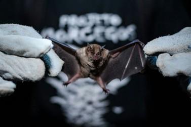 Confirmado segundo caso de morcego com raiva em Maringá