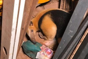Filhote de tamanduá-mirim é encontrado em cemitério de Paranavaí