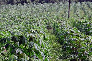 Vagas abertas para curso gratuito sobre mandiocultura em Paranavaí
