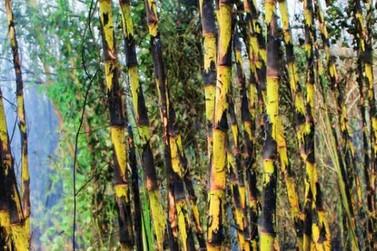 MPPR recomenda suspensão por 30 dias da queimada controlada da cana-de-açúcar