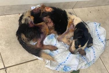 Cão queimado é resgatado após denúncia de maus-tratos no distrito do Sumaré