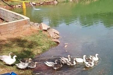 Lago do parque Ouro Branco, em Paranavaí, ganha novos moradores