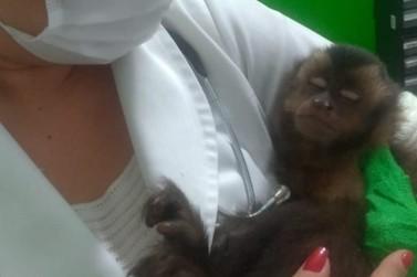 Macaco-prego resgatado no bosque de Paranavaí tem mão amputada