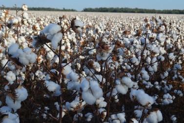 Rondônia se destaca internacionalmente na produção e exportação de algodão