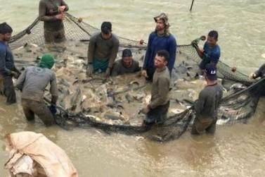Peixes produzidos em Rondônia são reconhecidos pela boa qualidade