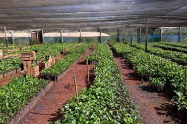 Programa Pró Café 2020 será intensificado com mudas clonais