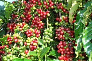 Período oficial da colheita do café se aproxima e Seagri orienta produtores