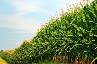 Conab aponta aumento da produção de milho 2ª safra em Rondônia