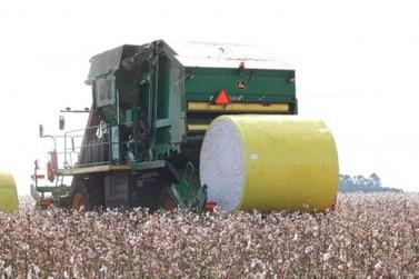 Plantio de algodão: Rondônia deve colher mais de 50 mil toneladas nesta safra