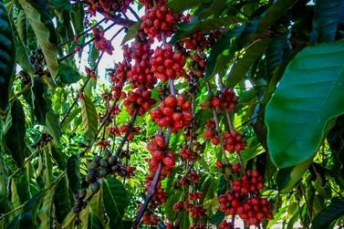 Cafeicultora de Rondônia conquista o 1º lugar no 'Coffee of The Year 2020'