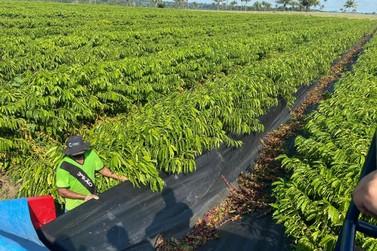 """Programa """"Plante Mais"""" incentiva aumento da produção cafeeira e cacaueira em RO"""