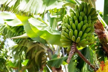 Produção de bananas em Rondônia deve manter estabilidade para a safra de 2021