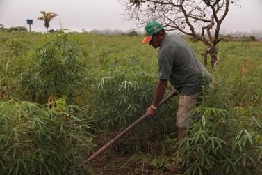 Mandioca alcança safra de 521,2 mil toneladas em Rondônia