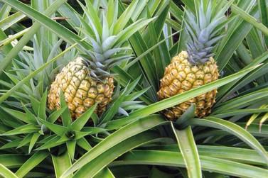 Jirau Energia e Embrapa abrem inscrições para curso sobre cultivo do abacaxi
