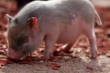 Lote de fêmeas puras importadas de suínos da Dinamarca estão em Cananeia