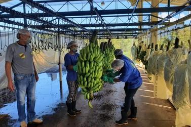 Banana volta a ser exportada em parceria entre Abavar e bananicultores do Vale