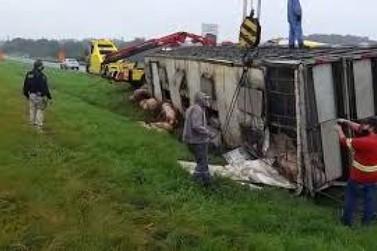 Caminhão cheio de porcos tomba na BR-116, em Registro