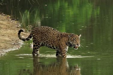 Legado anuncia parceria para monitoramento de felinos na Mata Atlântica