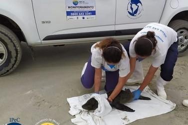 Lobo-marinho é encontrado na Ilha Comprida