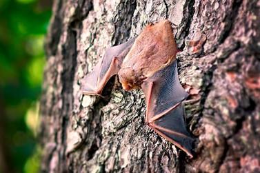 Juquiá alerta moradores para morcegos mortos na cidade