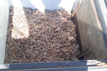 50 kg de camarão sete barras foram apreendidos em Cananeia neste domingo