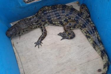 Jacaré do papo amarelo de mais de 1,30m, é encontrado em casa de Iguape