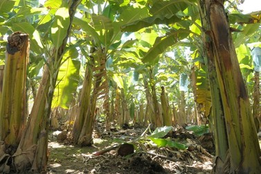 """Abavar trabalha com agricultores do Vale na prevenção ao """"Mal do Panamá"""""""