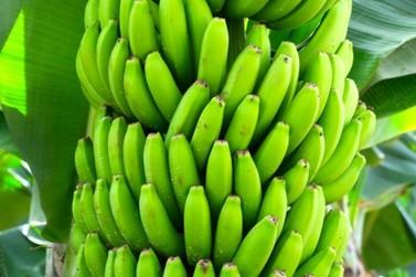 Estudo da UNESP Registro com aminoácidos no manejo da bananas aponta benefícios