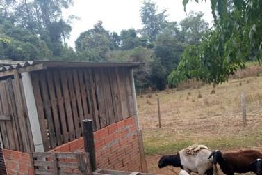 Moradores de assentamento do MST suspeitam de onça-parda em ataque a carneiros