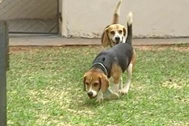 UEM é multada em R$ 10 mil por ter utilizado cães da raça beagle em pesquisas