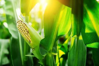 Rentabilidade da 2ª safra de milho pode ser elevada; clima preocupa