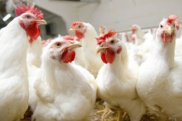 Alta do custo de produção preocupa setor avícola