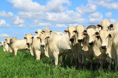 Frigoríficos denunciam redução da oferta de boi; caso será investigado