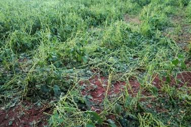 Granizo espalha destruição em mais de 400 hectares de soja no Paraná