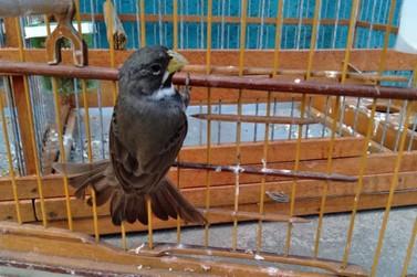 IAT orienta sobre criação amadora de pássaros nativos