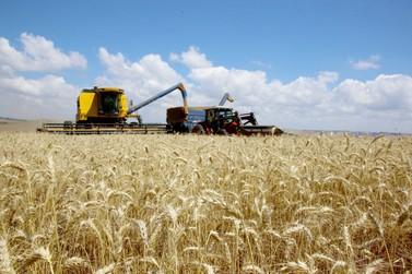 Ritmo do plantio de trigo ainda é lento; expectativa é de produtividade recorde