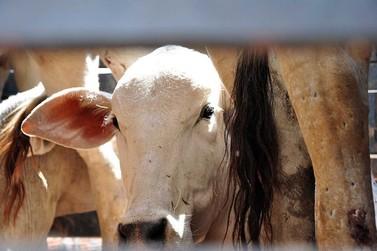 Seis casos de raiva bovina são registrados em Cascavel
